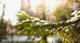 pinetree-1149932_1280