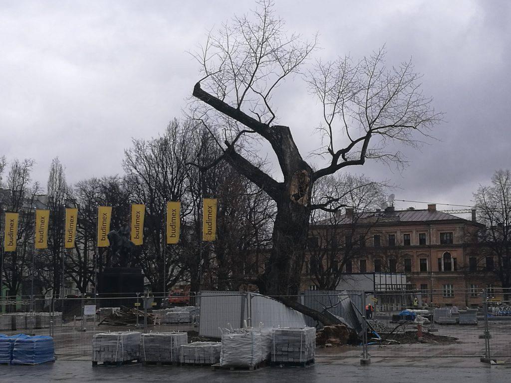 Baobab na placu Litewskim w Lublinie
