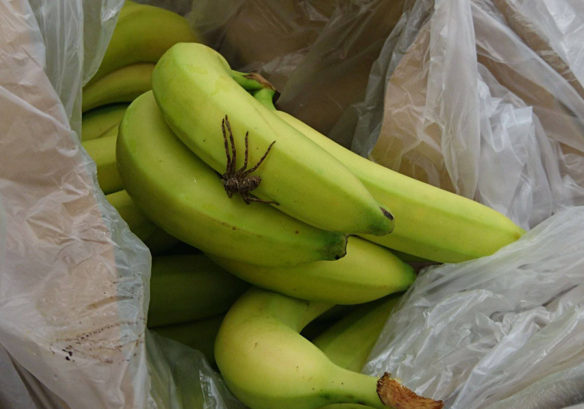 Pająk Znaleziony W Bananach W Auchan Lublin Zdjęcia