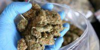 marihuana susz marihuany narkotyki