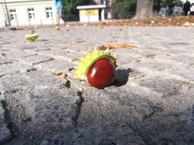 jesień kasztan