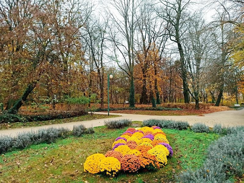 chryzantemy ogród saski