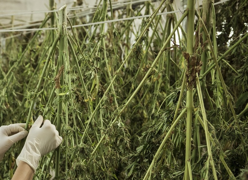 suszenie konopi marihuana narkotyki
