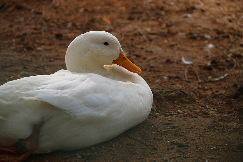 biała kaczka ptasia grypa