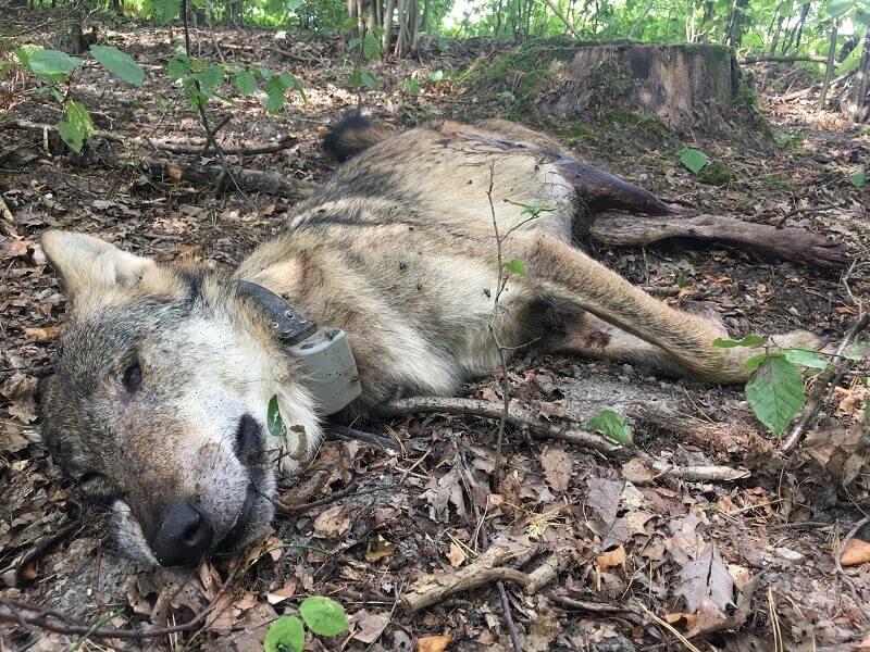 Zastrzelony wilk Kosy z Roztoczańskiego Parku Narodowego   fot. Stowarzyszenie dla Natury