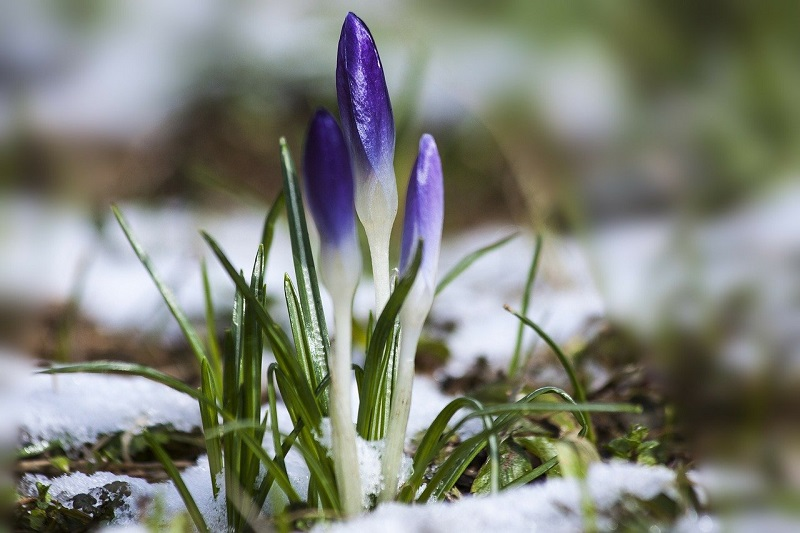 krokus wiosna zima śnieg