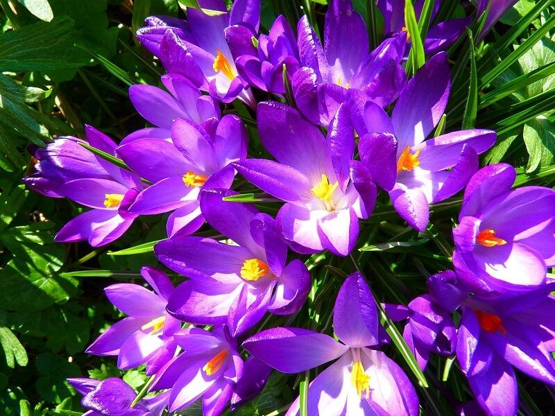 Krokusy to jedne z najbardziej znanych roślin cebulowych kwitnących wiosną
