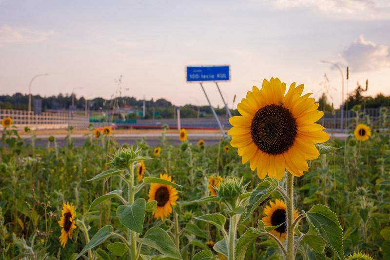 Łąka kwietna ze słonecznikami na rondzie 100-lecia KUL