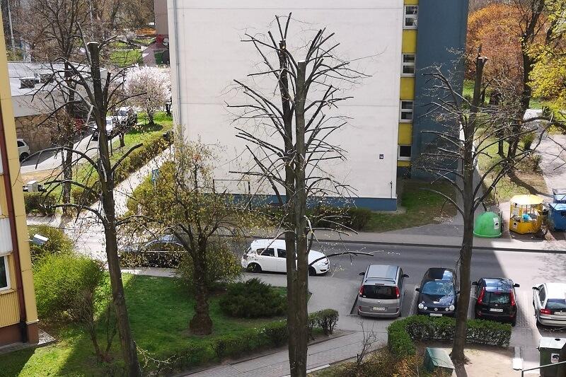Nielegalna przycinka drzew przy ul. Kuronia