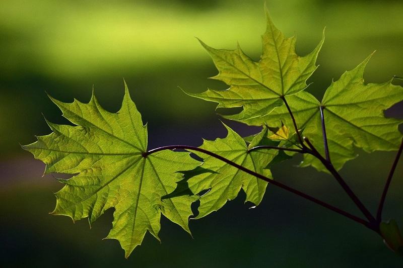 drzewo klon liście