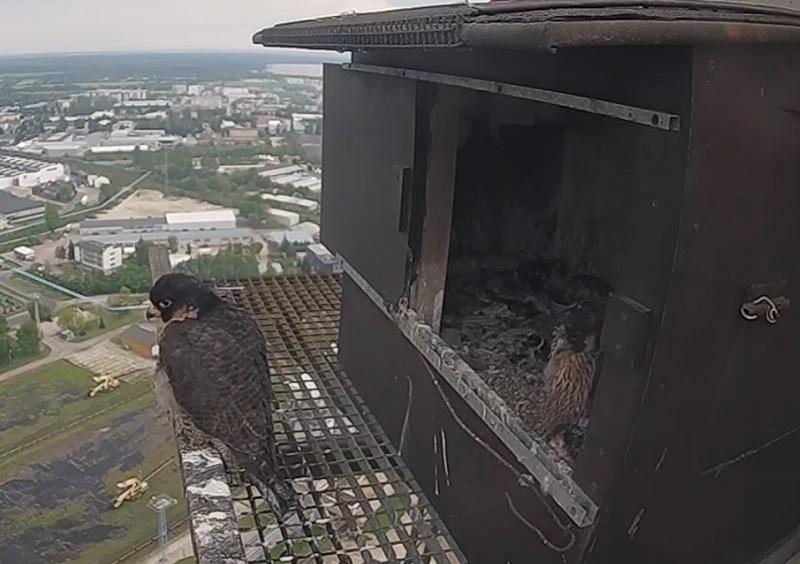 Sokoły na kominie elektrociepłowni Wrotków w Lublinie