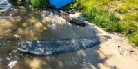 Sum o długości 210 cm złowiony na Zalewie Zemborzyckim