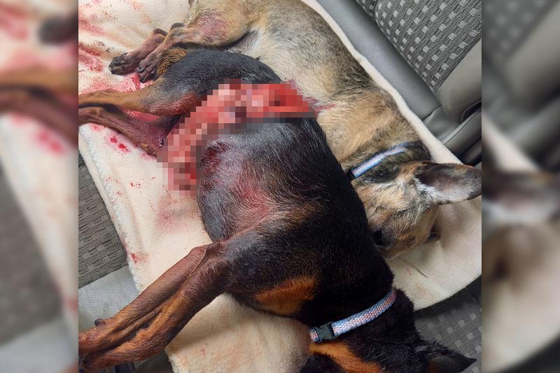 Agresywny owczarek niemiecki zagryzł dwa psy