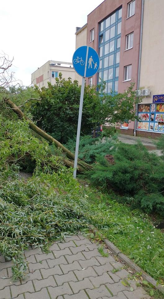 Powalone drzewo z korzeniami na Porębie