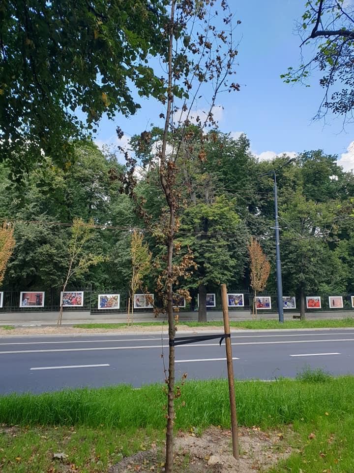 Uschnięte drzewa na Al. Racławickich w Lublinie