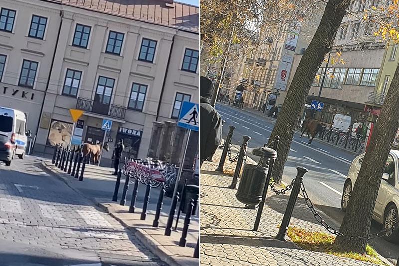 Galopujący koń po ulicach Lublina