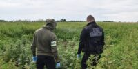 straż graniczna policja plantacja marihuany